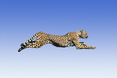 ANIMAL SPECIES - STOCK PHOTO LISTINGS  Image is of Cheetah Running Legs OutstretchedA - ANIMALS     003  Different Species Of Wildlife Interacting  004  Different Domestic Species Interacting  010  People With Wildlife  020  Animals Signs  030  Amphibians (Misc.)  040  Antelope (Pronghorn)  050  Badgers  060  Bats  070  Bears - Black  075  Bears - Models For Phillips Petroleum Ad   080  Bears - Grizzly   081  Bears - Grizzly Cubs  082  Bears - Alaskan Brown Cubs/Cubs & Mothers  083  Bears - Alaskan Brown  085  Bears - Polar  090  Beaver  100  Bobcats  101  Bobcat Kittens  110  Bighorn Sheep  112  Bighorn Sheep - Desert  120  Bison (American Buffalo)  130  Cattle  140  Coati (Coatimundi)  145  Chipmunks          Cougar, see Mountain Lion  150  Coyotes  151  Coyotes - One Pup  152  Coyotes - Two Pups  153  Coyotes - Three Pups  160  Deer - Mule Deer (Columbian)  170  Deer - Mule Deer  171  Mule Deer Fawn 180  Deer - White-Tailed  181  Deer - White-Tailed Fawn 182  Deer - Fallow (White & Black) 185  Deer - Sika 190  Earthworms 200  Elk 208  Tule Elk 210  National Elk Refuge 212  Farm Animals 215  Fish - (fresh water) 217  Fish - (salt water) 220  Fish Hatchery 224  Fisher         Florida Panther - see A-353 225  Fox - Arctic 230  Fox  Gray 235  Fox - Kit 240  Fox - Red 245  Fox - Red (adults with pups) 250  Fox - Red (pup) 260  Fox - Red (two pups) 270  Fox - Red (three pups) 273  Gila Monsters 275  Ground Squirrels  280  Horses 285  Ibex 290  Insects/Spiders        Javelina (see #376 Peccaries) 295  Kangaroo Rats 298  Llamas/Guanaco 300  Lynx 301  Lynx Kittens 302  Lynx in Snow 310  Marine Life - Misc 320  Marmots 322  Mink 324  Misc. Animals - USA 330  Moose 340  Mountain Goats 350  Mountain Lions (very large selection) 351  Mountain Lions - Kittens in Snow 352  Mountain Lions - Kittens (some with Mother) 353  Mountain Lions - Florida Panther 354  Mountain Lions - Florida Panther Kittens 355  Mouse (Mice) 358  Musk Oxen         Ocelots (see #655) 359  Opossums 360  O