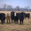 Cows-4