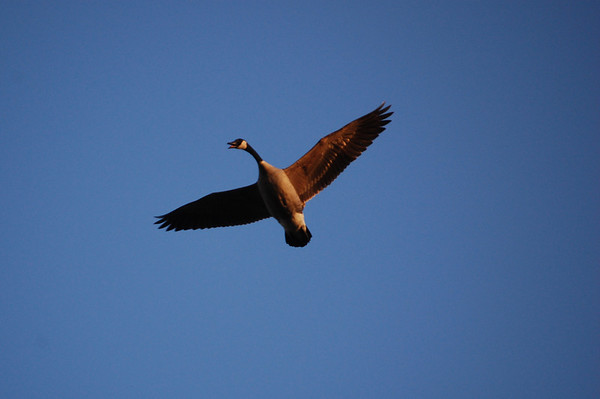 Canada Geese-4