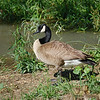 Canada Geese-8