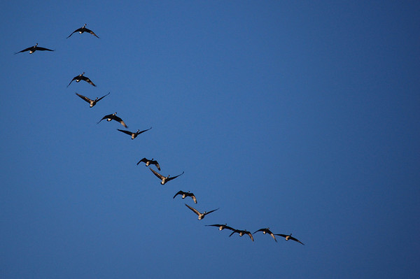 Canada Geese-7