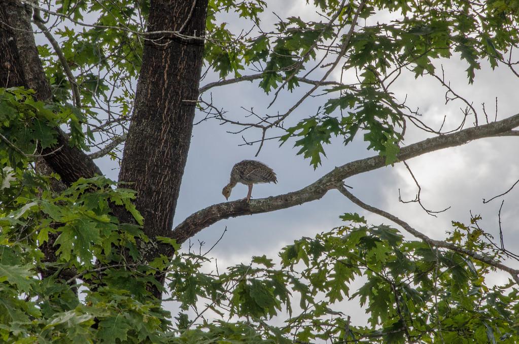 Eastern Wild Turkey - Immature-4
