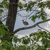 Eastern Wild Turkey - Immature-3