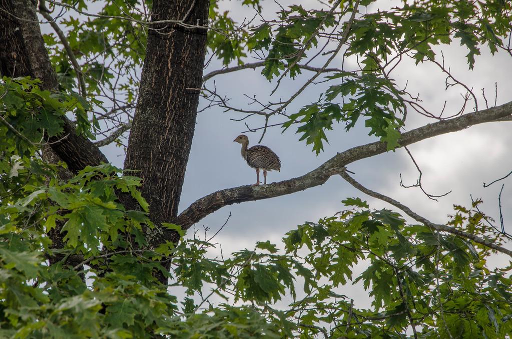 Eastern Wild Turkey - Immature-3