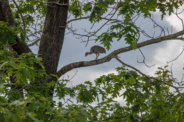 Eastern Wild Turkey - Immature-1