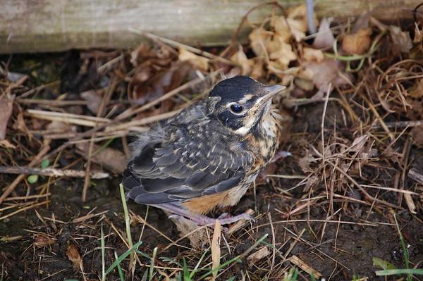 Baby Robin Bird