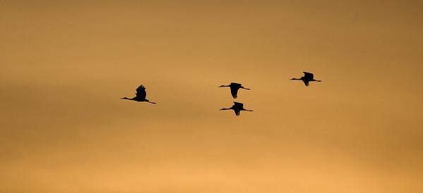 Sandhill Crane-6