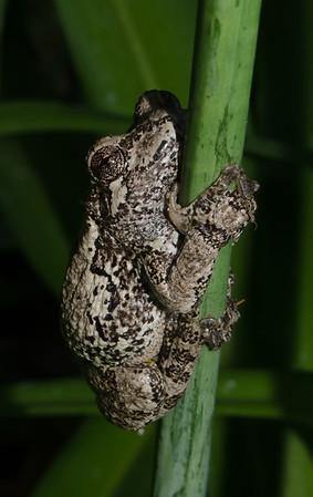 Grey Tree Frog-3