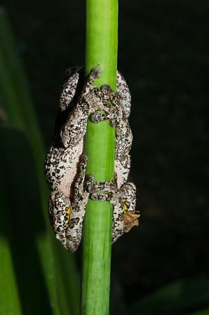 Grey Tree Frog-5