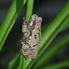 Grey Tree Frog-1