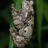 Grey Tree Frog-9
