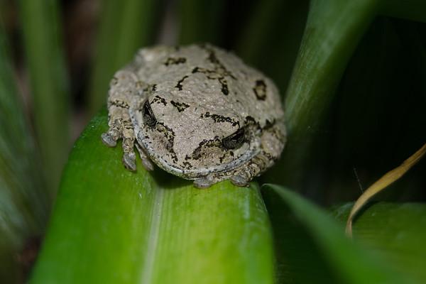 Grey Tree Frog-10
