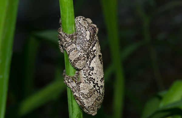 Grey Tree Frog-6