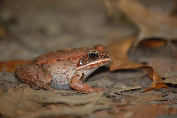 Wood Frog-1
