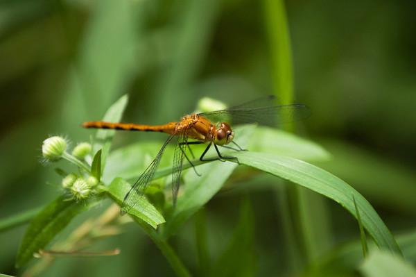 Dragon Flies-16
