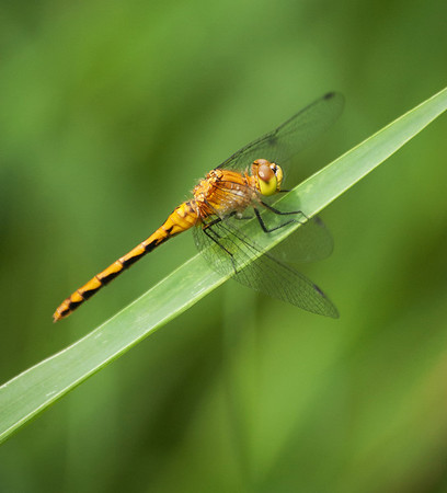 Dragon Flies-18