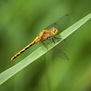 Dragon Flies-18