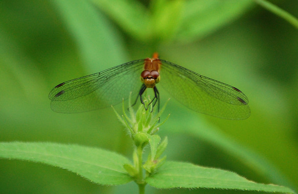 Dragon Flies-5