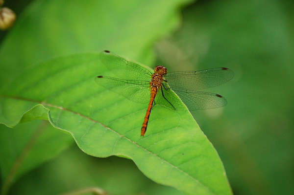 Dragon Flies-3