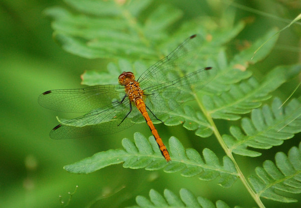 Dragon Flies-8