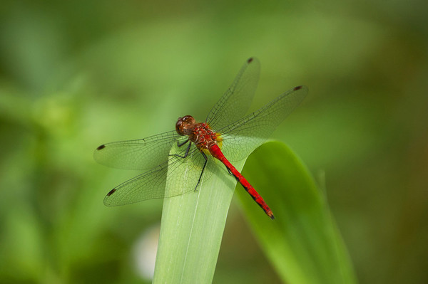 Dragon Flies-4