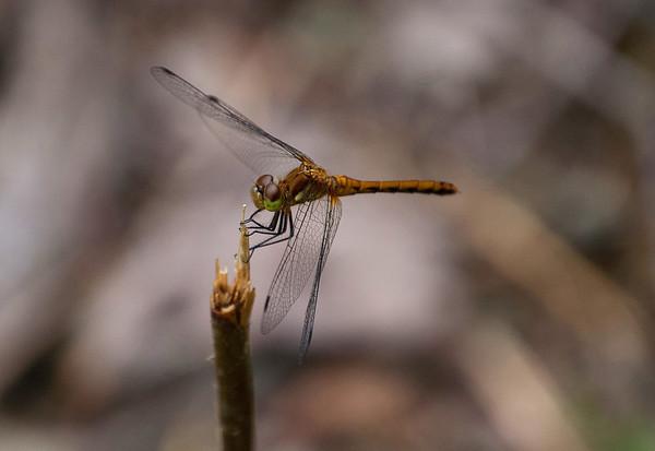 Dragon Flies-19