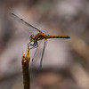 Dragon Flies-19