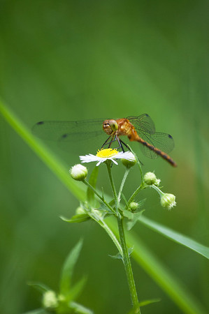 Dragon Flies-11