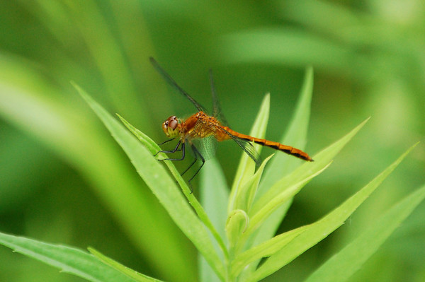 Dragon Flies-6