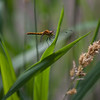 Dragon Flies-15