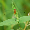 Dragon Flies-7