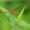 Dragon Flies-1