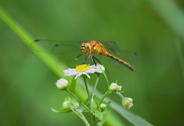 Dragon Flies-10