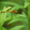 Dragon Flies-9