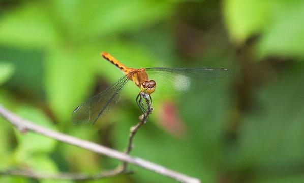 Dragon Flies-20