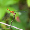 Dragon Flies-20