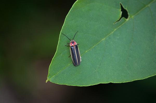 Lightning Bug-1