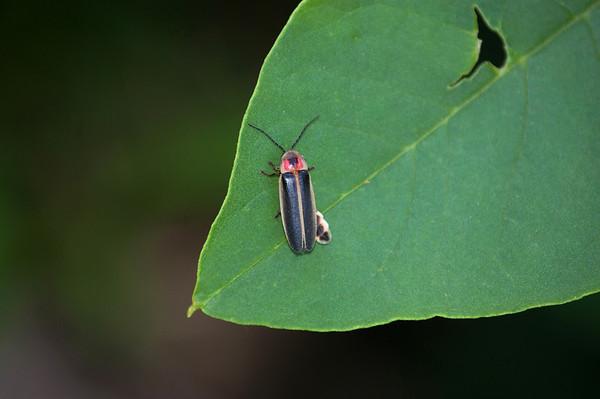 Lightning Bug-3