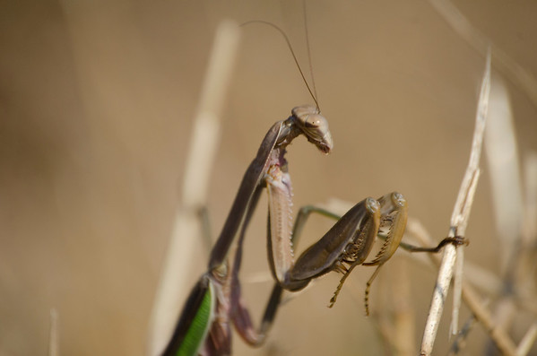 Praying Mantis - 6