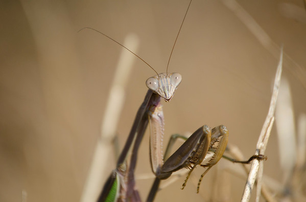 Praying Mantis - 5