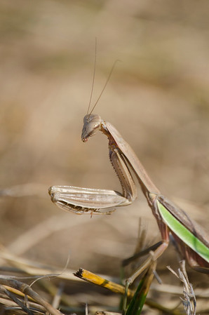 Praying Mantis - 4