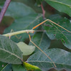 Walking Stick-8