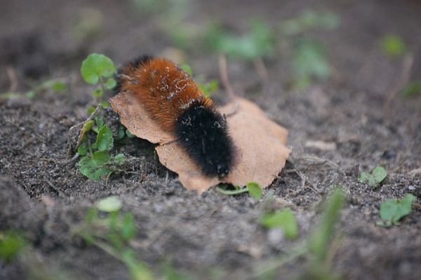 Woolly Bear-2