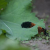 Woolly Bear-3