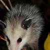 Opossum-3