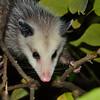 Opossum-1