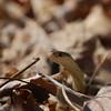 Eastern Garter Snake-6