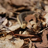 Eastern Garter Snake-4