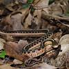 Eastern Garter Snake-13