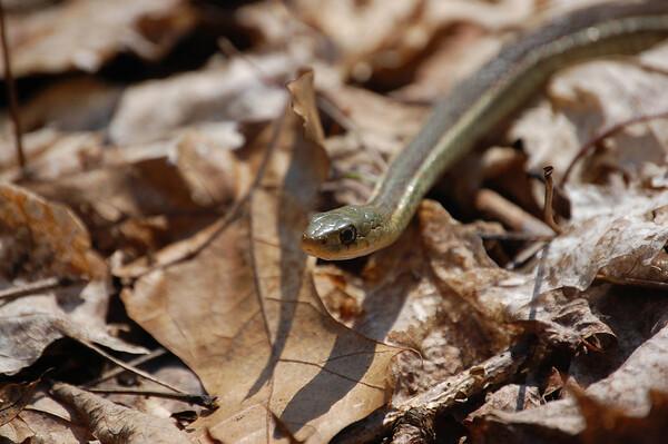 Eastern Garter Snake-2